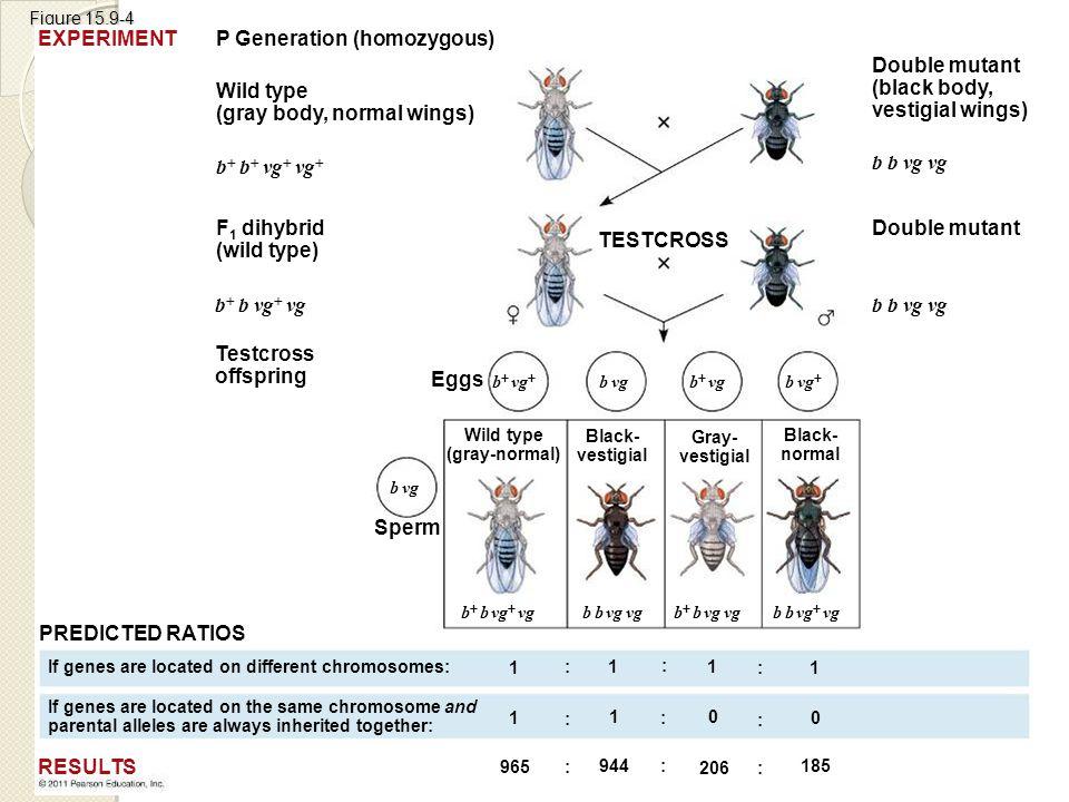 Figure 15.9-4 P Generation (homozygous) Wild type (gray body, normal wings) F 1 dihybrid (wild type) Testcross offspring TESTCROSS b  b  vg  vg  b