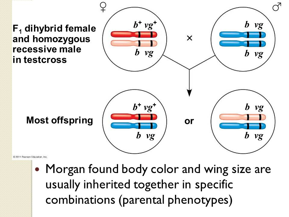 Most offspring F 1 dihybrid female and homozygous recessive male in testcross or b + vg + b vg b + vg + b vg Morgan found body color and wing size are