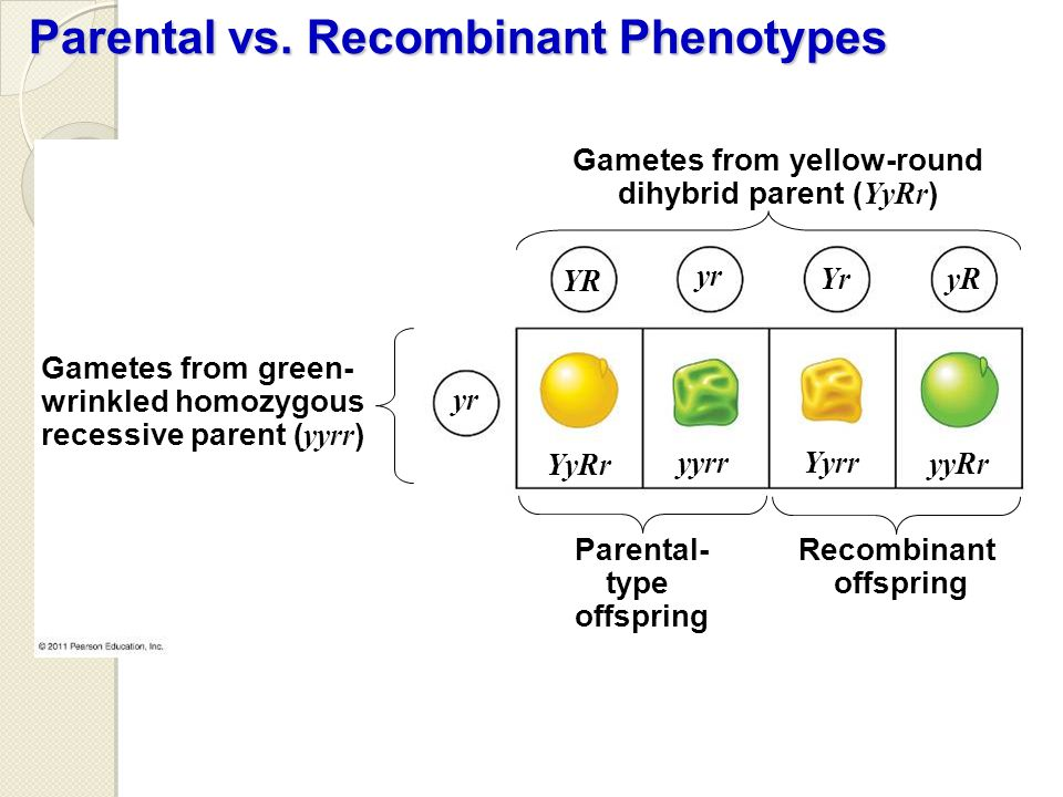 Parental vs. Recombinant Phenotypes Gametes from green- wrinkled homozygous recessive parent ( yyrr ) Gametes from yellow-round dihybrid parent ( YyRr