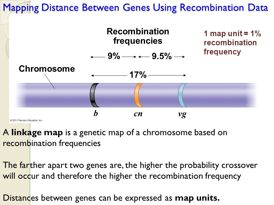 Chromosome Recombination frequencies 9% 9.5% 17% b cn vg Mapping Distance Between Genes Using Recombination Data A linkage map is a genetic map of a c