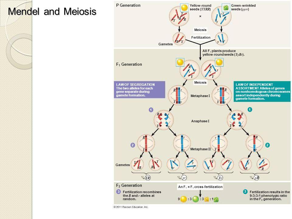 Mendel and Meiosis P Generation F 1 Generation Yellow-round seeds ( YYRR ) Green-wrinkled seeds ( yyrr )  Meiosis Fertilization Gametes Y Y R R Y R y