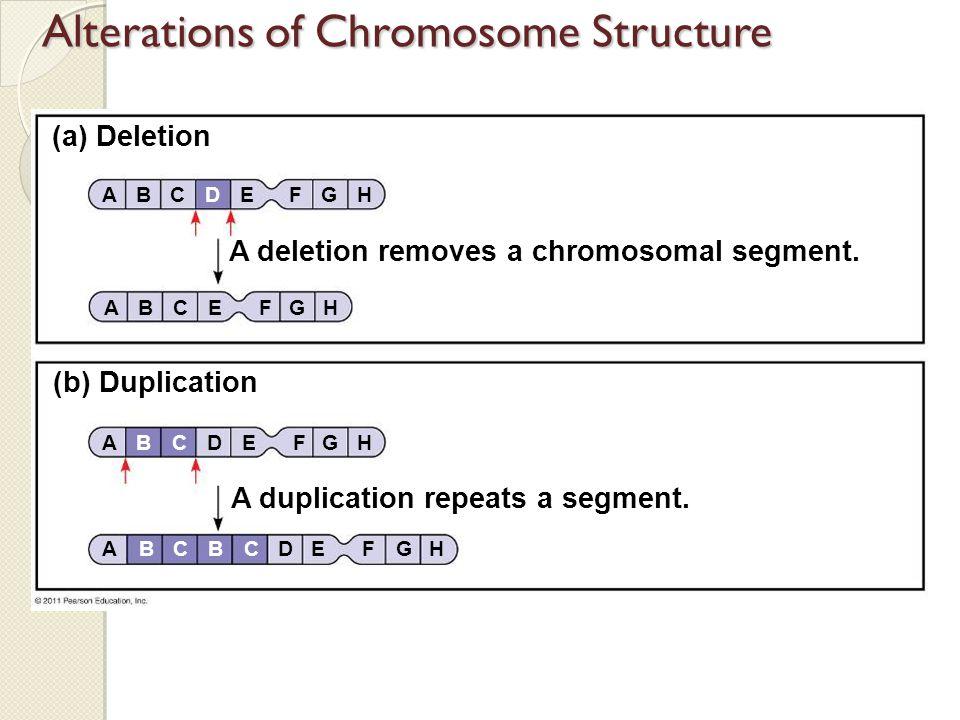 (a) Deletion (b) Duplication A deletion removes a chromosomal segment. A duplication repeats a segment. BACDEFGH ABCDEFGH ABCDEFGHBC ABCEFGH Alteratio