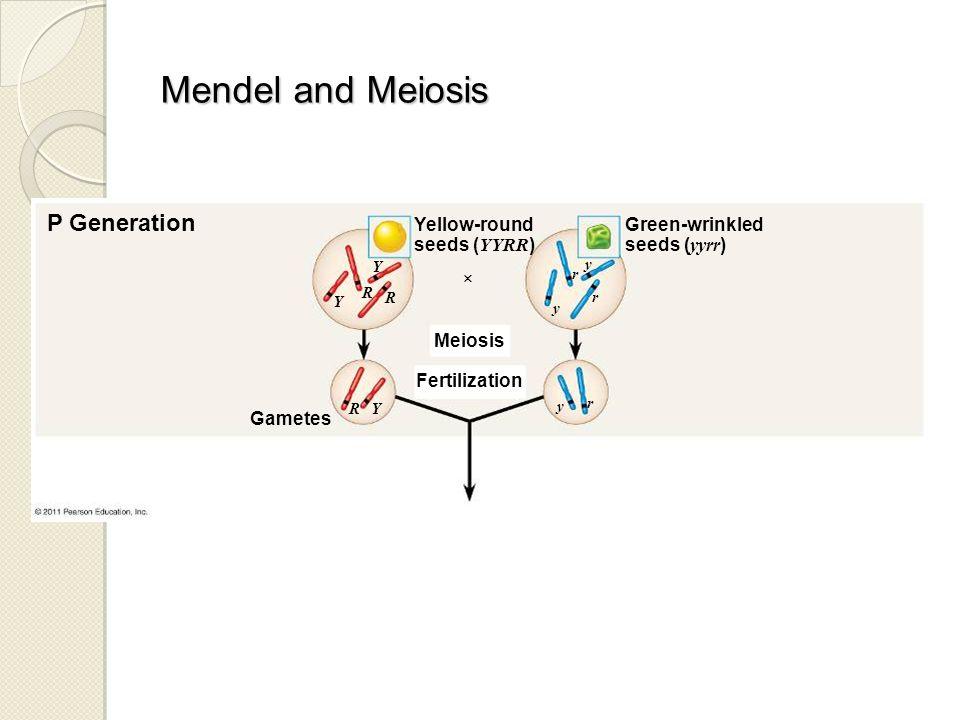 P Generation Yellow-round seeds ( YYRR ) Green-wrinkled seeds ( yyrr )  Meiosis Fertilization Gametes Y Y R R Y R y y r y r r Mendel and Meiosis