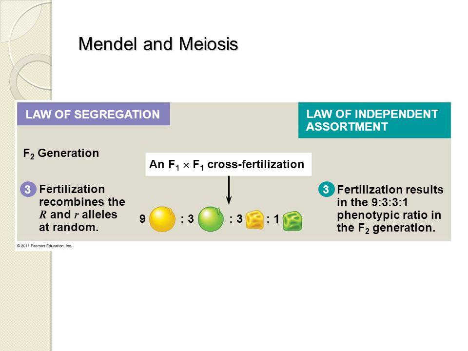F 2 Generation 3 Fertilization recombines the R and r alleles at random. Fertilization results in the 9:3:3:1 phenotypic ratio in the F 2 generation.