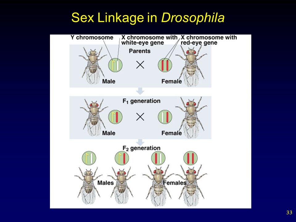 33 Sex Linkage in Drosophila
