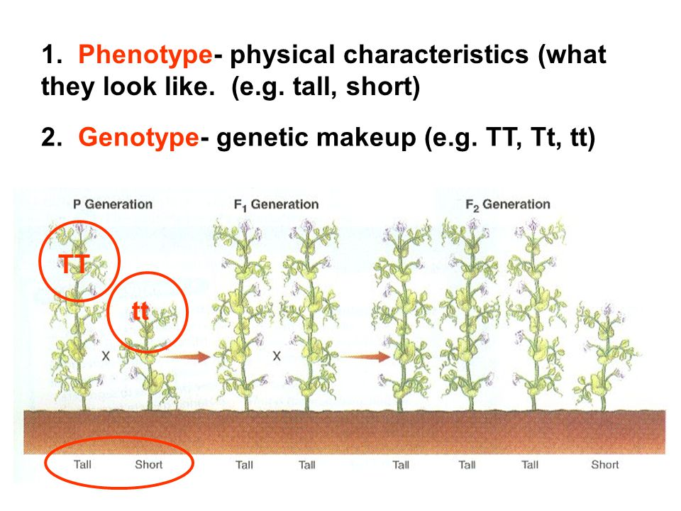 1.Phenotype- physical characteristics (what they look like.