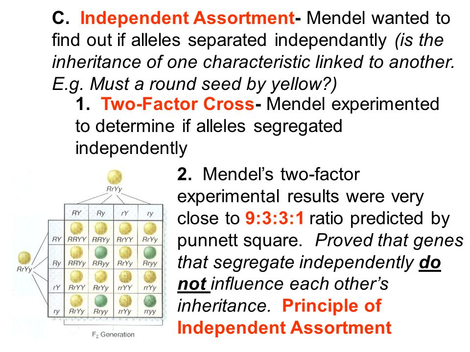 C. Independent Assortment- Mendel wanted to find out if alleles separated independantly (is the inheritance of one characteristic linked to another. E
