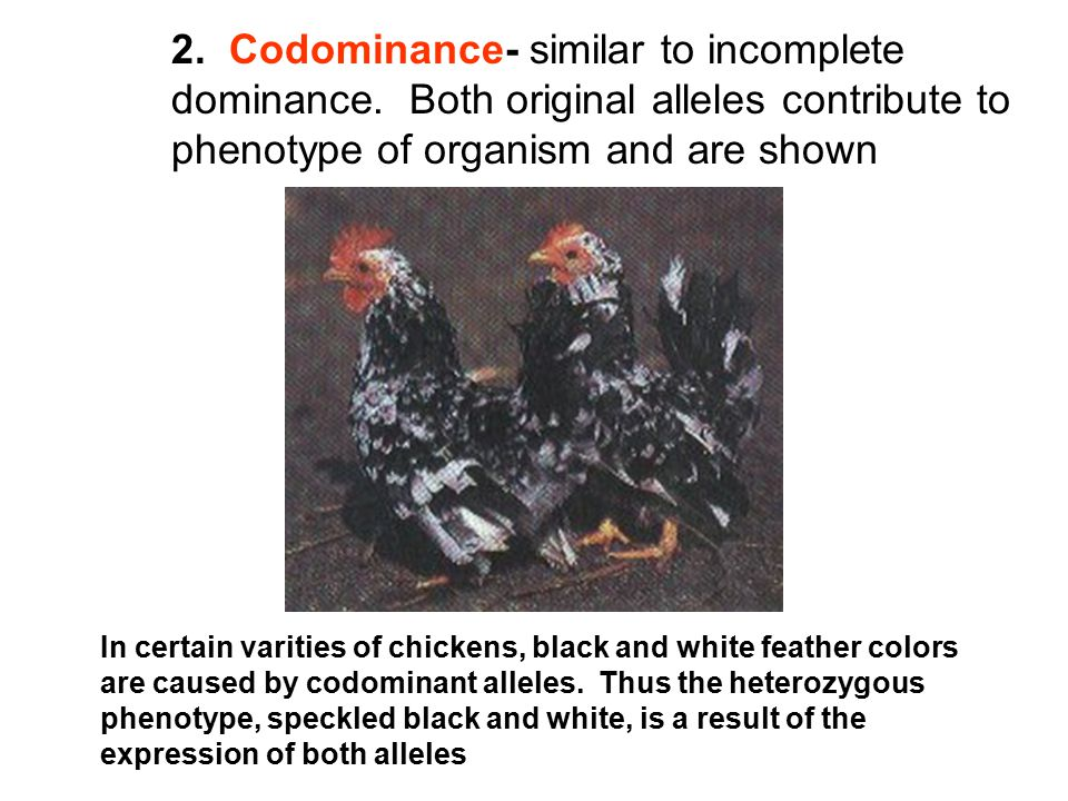 2. Codominance- similar to incomplete dominance. Both original alleles contribute to phenotype of organism and are shown In certain varities of chicke