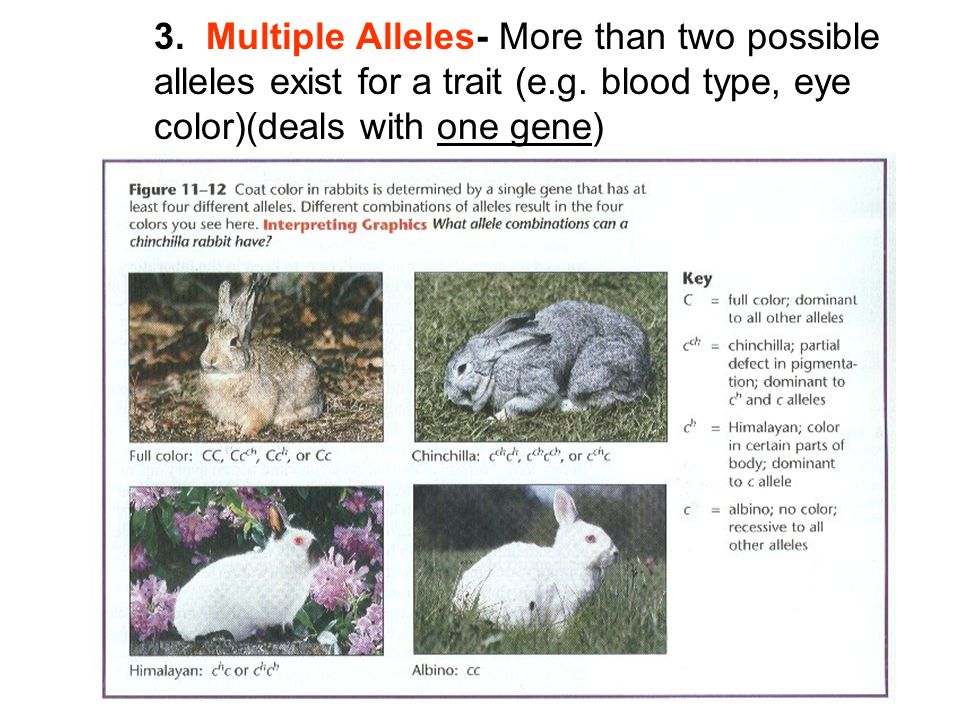 3. Multiple Alleles- More than two possible alleles exist for a trait (e.g. blood type, eye color)(deals with one gene)