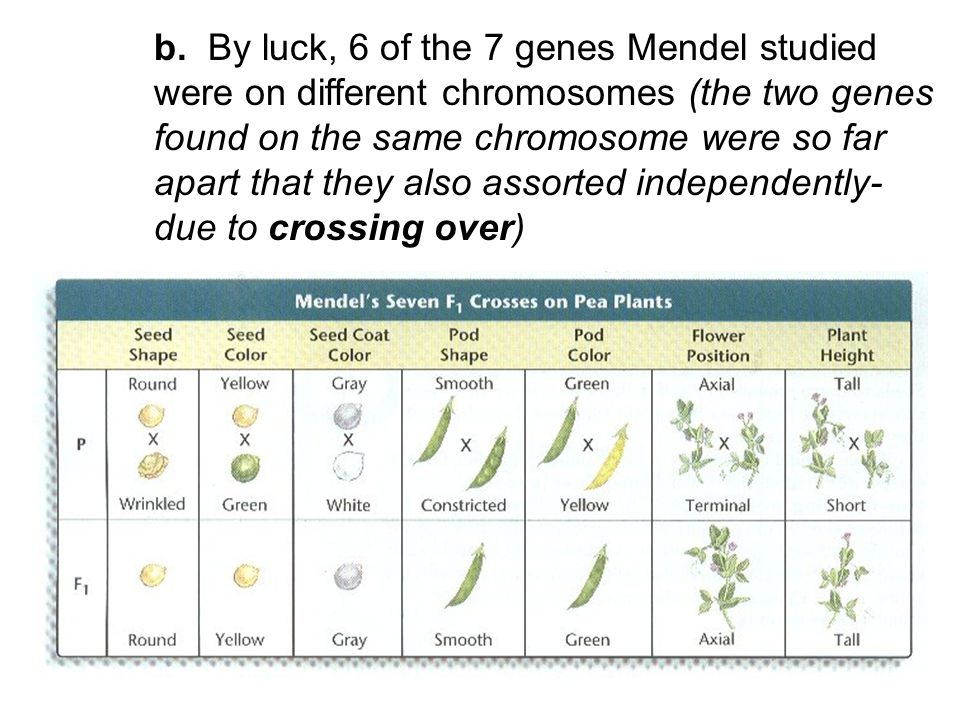 b. By luck, 6 of the 7 genes Mendel studied were on different chromosomes (the two genes found on the same chromosome were so far apart that they also
