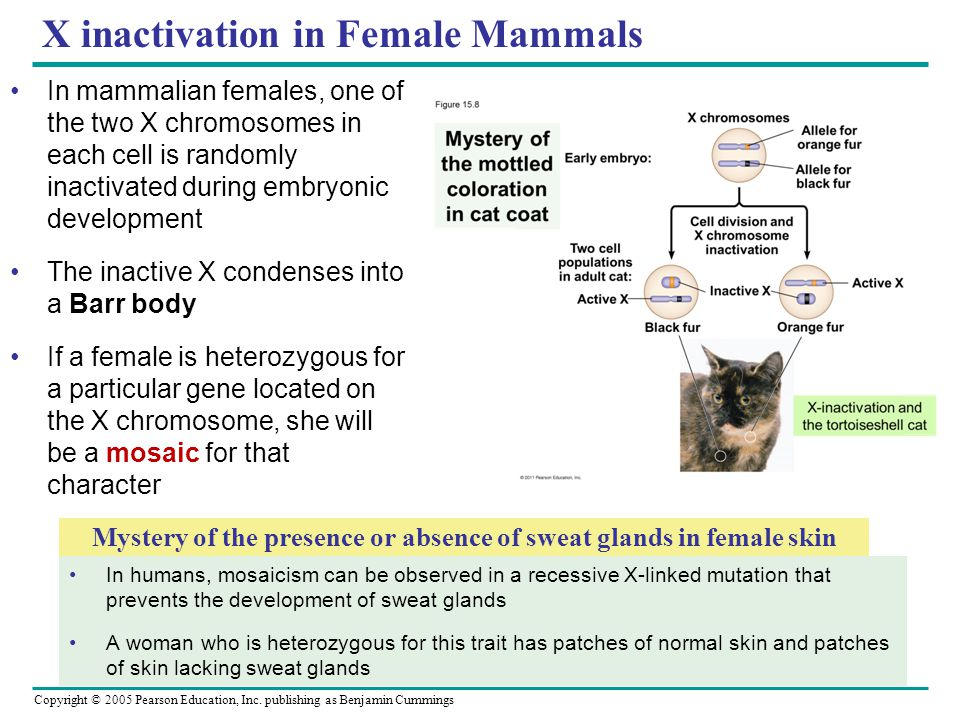 Copyright © 2005 Pearson Education, Inc. publishing as Benjamin Cummings X inactivation in Female Mammals In mammalian females, one of the two X chrom