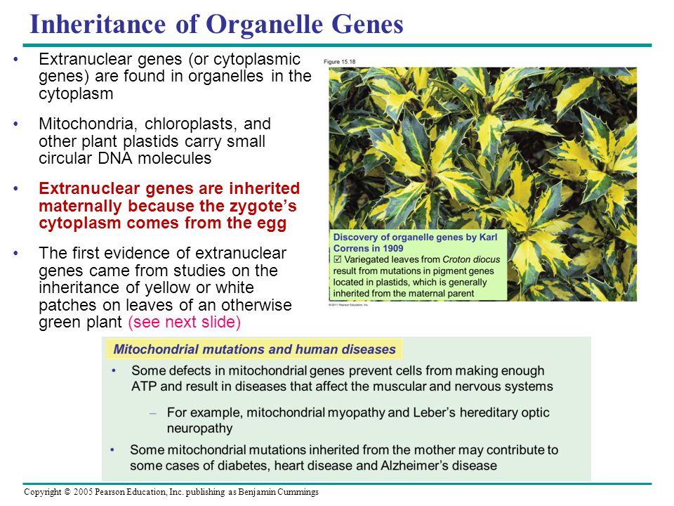 Copyright © 2005 Pearson Education, Inc. publishing as Benjamin Cummings Inheritance of Organelle Genes Extranuclear genes (or cytoplasmic genes) are