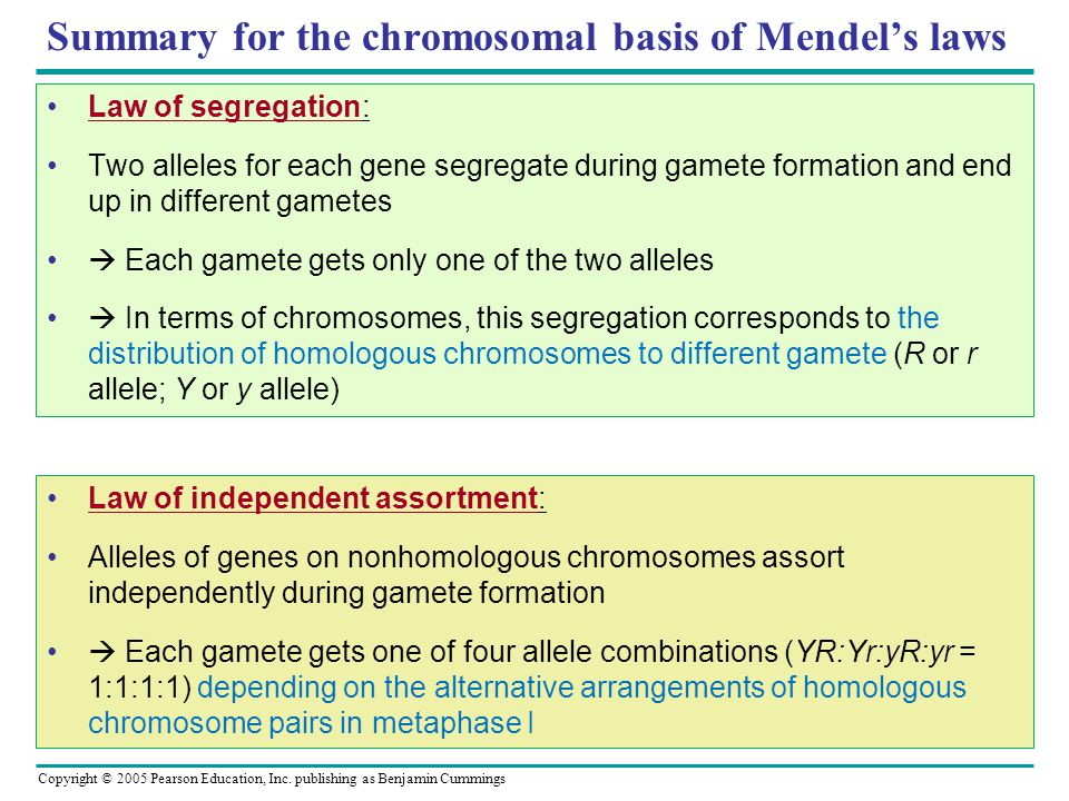 Copyright © 2005 Pearson Education, Inc. publishing as Benjamin Cummings Summary for the chromosomal basis of Mendel's laws Law of segregation: Two al