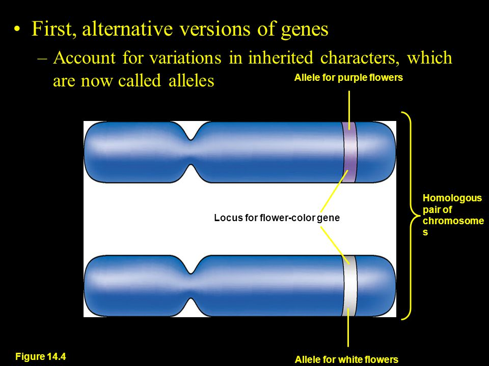 First, alternative versions of genes –Account for variations in inherited characters, which are now called alleles Figure 14.4 Allele for purple flowers Locus for flower-color gene Homologous pair of chromosome s Allele for white flowers