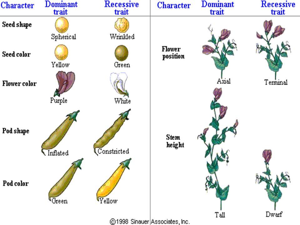 Genetic Diseases can be Mendelian Dominant or Recessive
