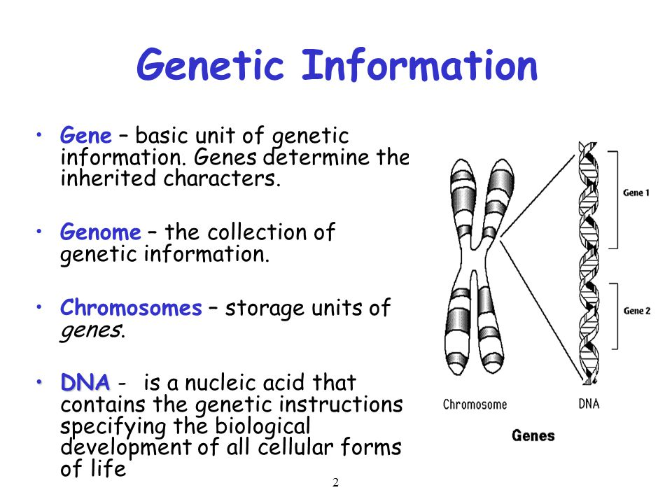 2 Genetic Information Gene – basic unit of genetic information. Genes determine the inherited characters. Genome – the collection of genetic informati