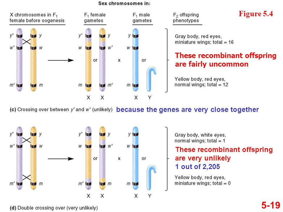 5-19 Figure 5.4 because the genes are very close together These recombinant offspring are fairly uncommon These recombinant offspring are very unlikel