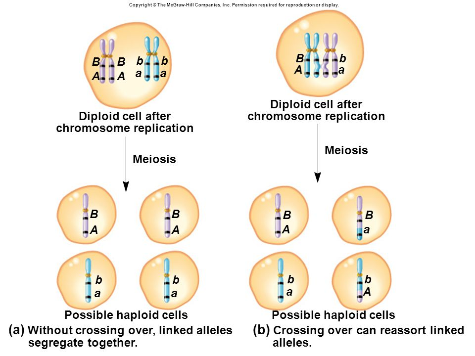 Copyright © The McGraw-Hill Companies, Inc. Permission required for reproduction or display. Diploid cell after chromosome replication Meiosis Possibl