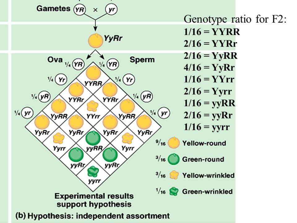 Genotype ratio for F2: 1/16 = YYRR 2/16 = YYRr 2/16 = YyRR 4/16 = YyRr 1/16 = YYrr 2/16 = Yyrr 1/16 = yyRR 2/16 = yyRr 1/16 = yyrr