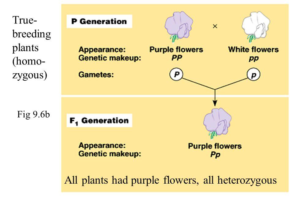 True- breeding plants (homo- zygous) All plants had purple flowers, all heterozygous Fig 9.6b