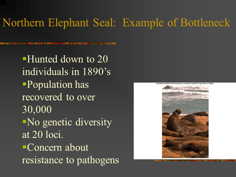 Northern Elephant Seal: Example of Bottleneck  Hunted down to 20 individuals in 1890's  Population has recovered to over 30,000  No genetic diversi
