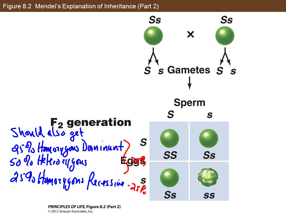 Figure 8.2 Mendel's Explanation of Inheritance (Part 2)