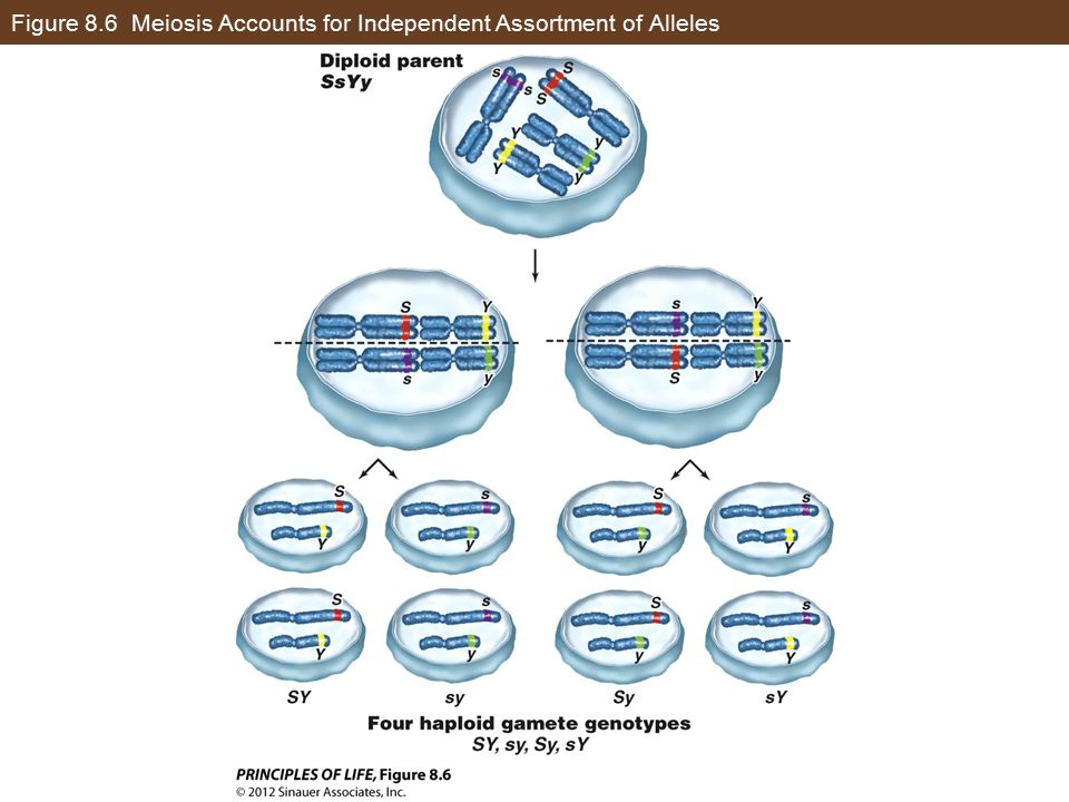 Figure 8.6 Meiosis Accounts for Independent Assortment of Alleles