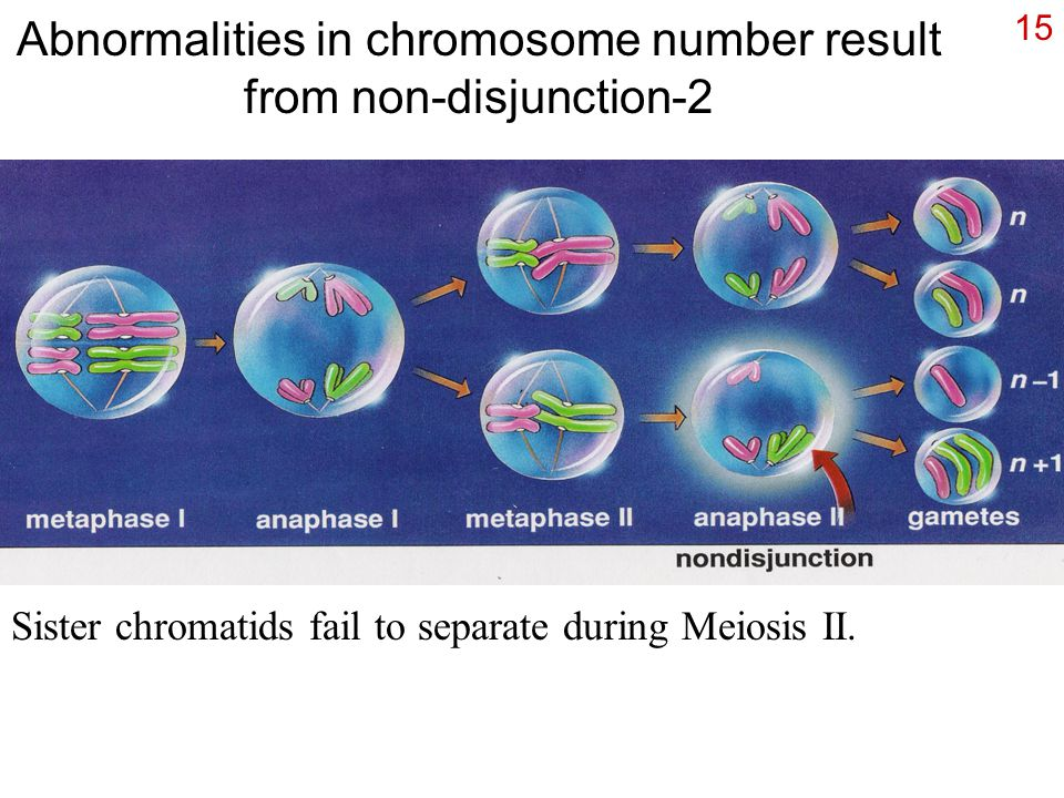15 Abnormalities in chromosome number result from non-disjunction-2 Sister chromatids fail to separate during Meiosis II.