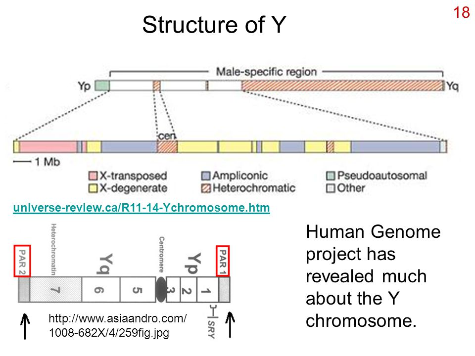 Structure of Y 18 universe-review.ca/R11-14-Ychromosome.htm http://www.asiaandro.com/ 1008-682X/4/259fig.jpg Human Genome project has revealed much about the Y chromosome.