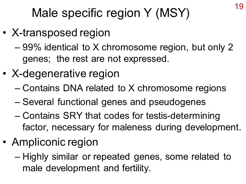 19 Male specific region Y (MSY) X-transposed region –99% identical to X chromosome region, but only 2 genes; the rest are not expressed. X-degenerativ