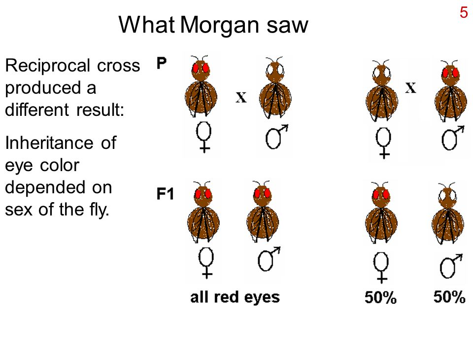 5 What Morgan saw Reciprocal cross produced a different result: Inheritance of eye color depended on sex of the fly.