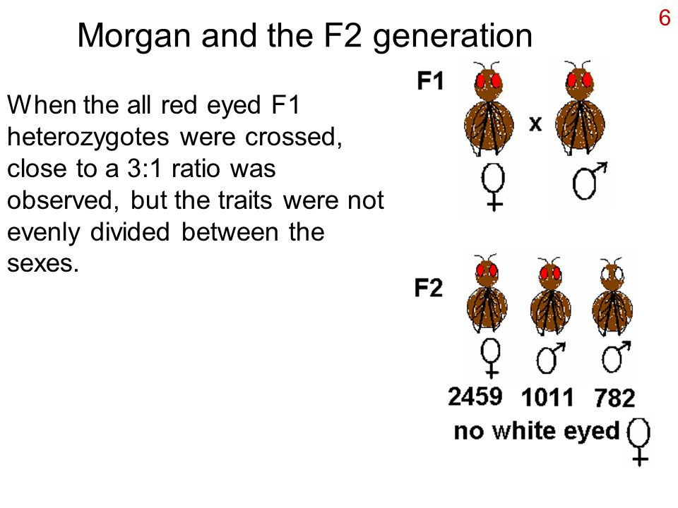 6 Morgan and the F2 generation When the all red eyed F1 heterozygotes were crossed, close to a 3:1 ratio was observed, but the traits were not evenly divided between the sexes.