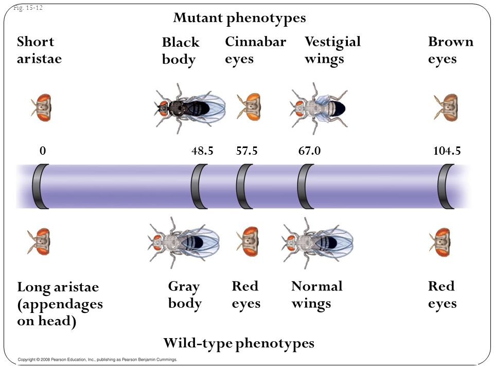 Fig. 15-12 Mutant phenotypes Short aristae Black body Cinnabar eyes Vestigial wings Brown eyes Red eyes Normal wings Red eyes Gray body Long aristae (