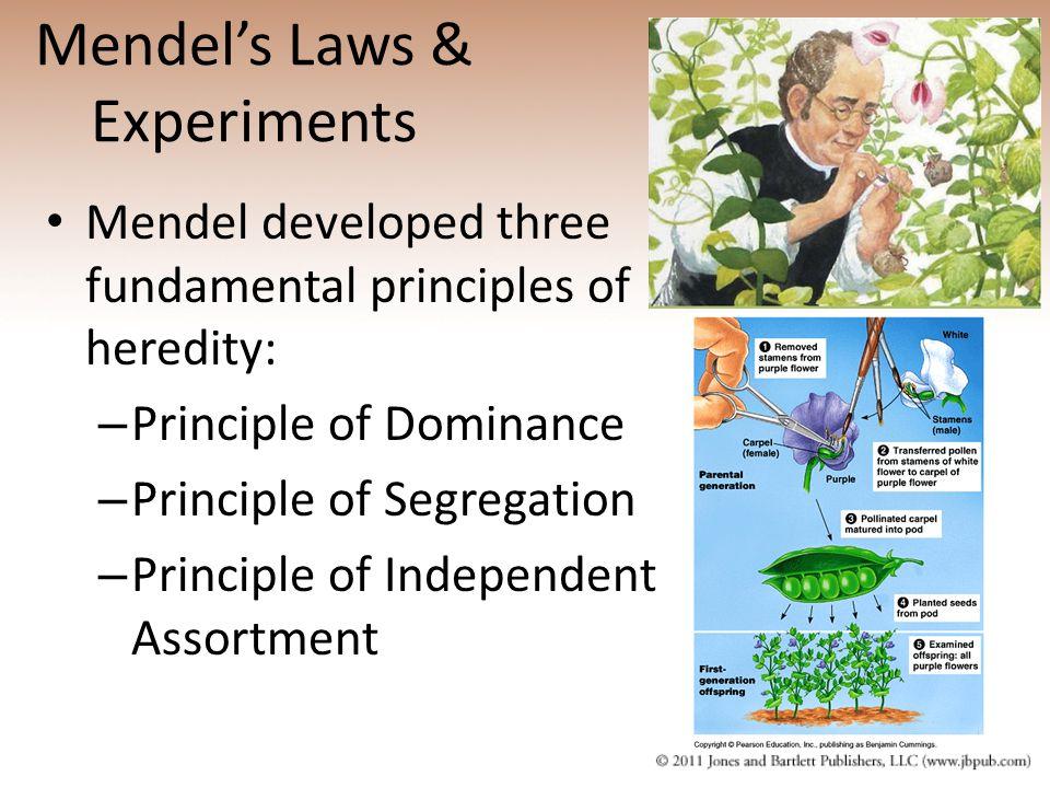Mendel's Laws & Experiments Mendel developed three fundamental principles of heredity: – Principle of Dominance – Principle of Segregation – Principle
