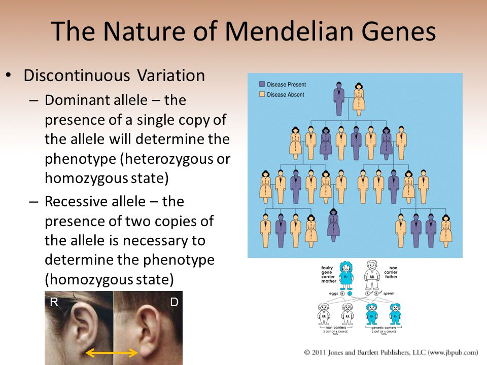 The Nature of Mendelian Genes Discontinuous Variation – Dominant allele – the presence of a single copy of the allele will determine the phenotype (he