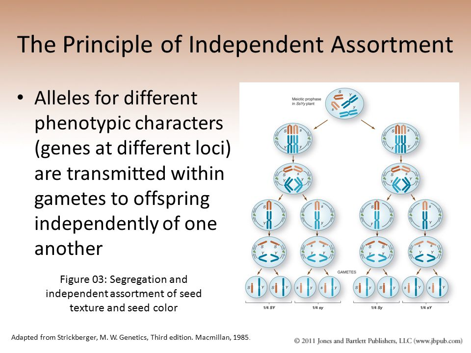 The Principle of Independent Assortment Alleles for different phenotypic characters (genes at different loci) are transmitted within gametes to offspr