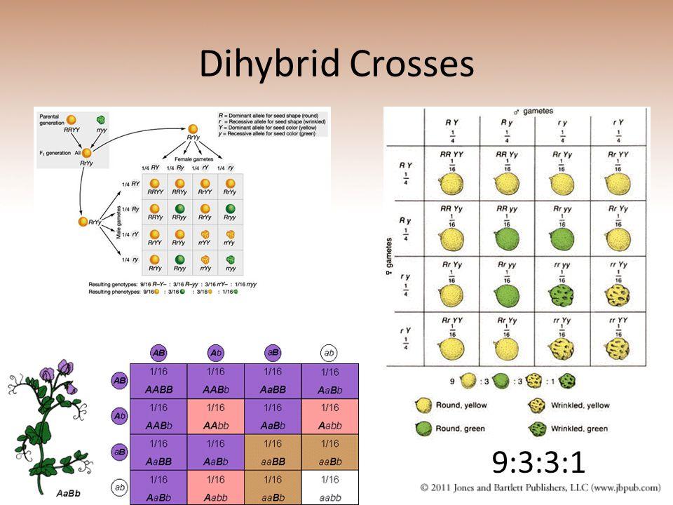 Dihybrid Crosses 9:3:3:1