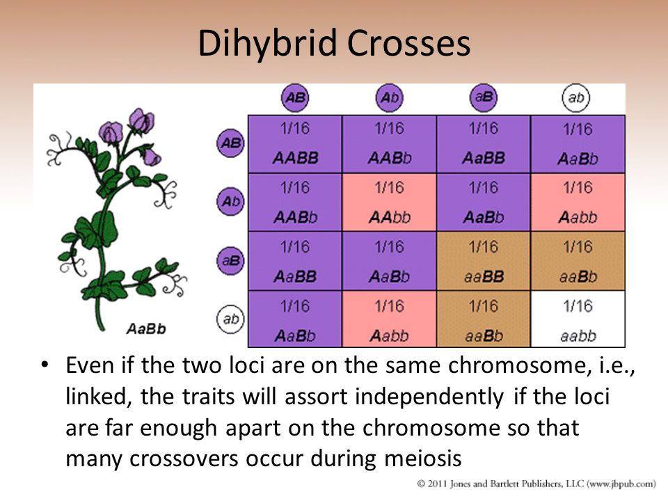 Dihybrid Crosses Even if the two loci are on the same chromosome, i.e., linked, the traits will assort independently if the loci are far enough apart