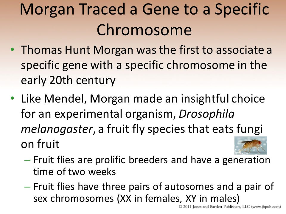 Thomas Hunt Morgan was the first to associate a specific gene with a specific chromosome in the early 20th century Like Mendel, Morgan made an insight