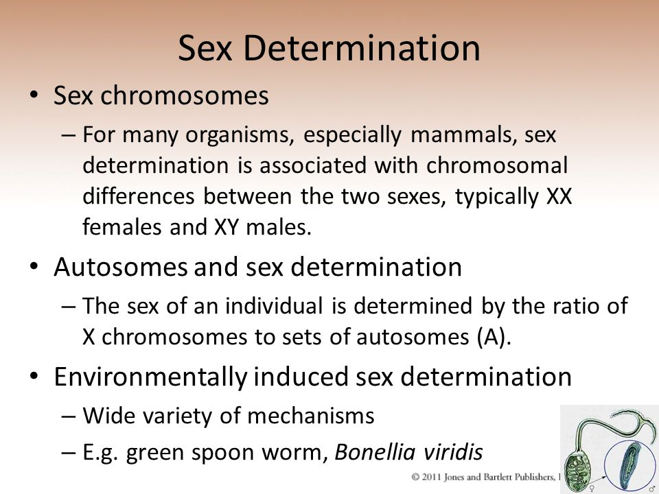 Sex Determination Sex chromosomes – For many organisms, especially mammals, sex determination is associated with chromosomal differences between the t