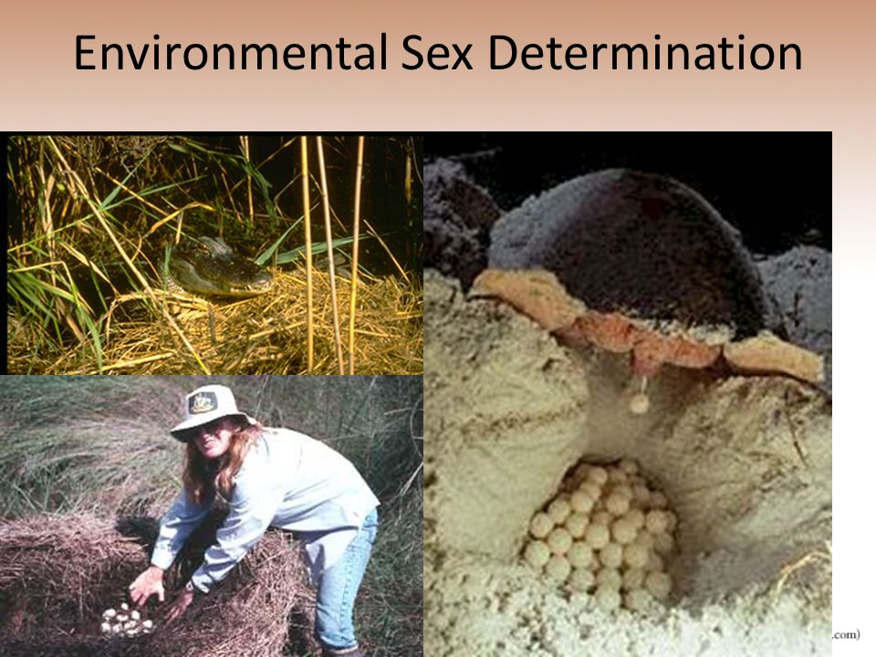 Environmental Sex Determination