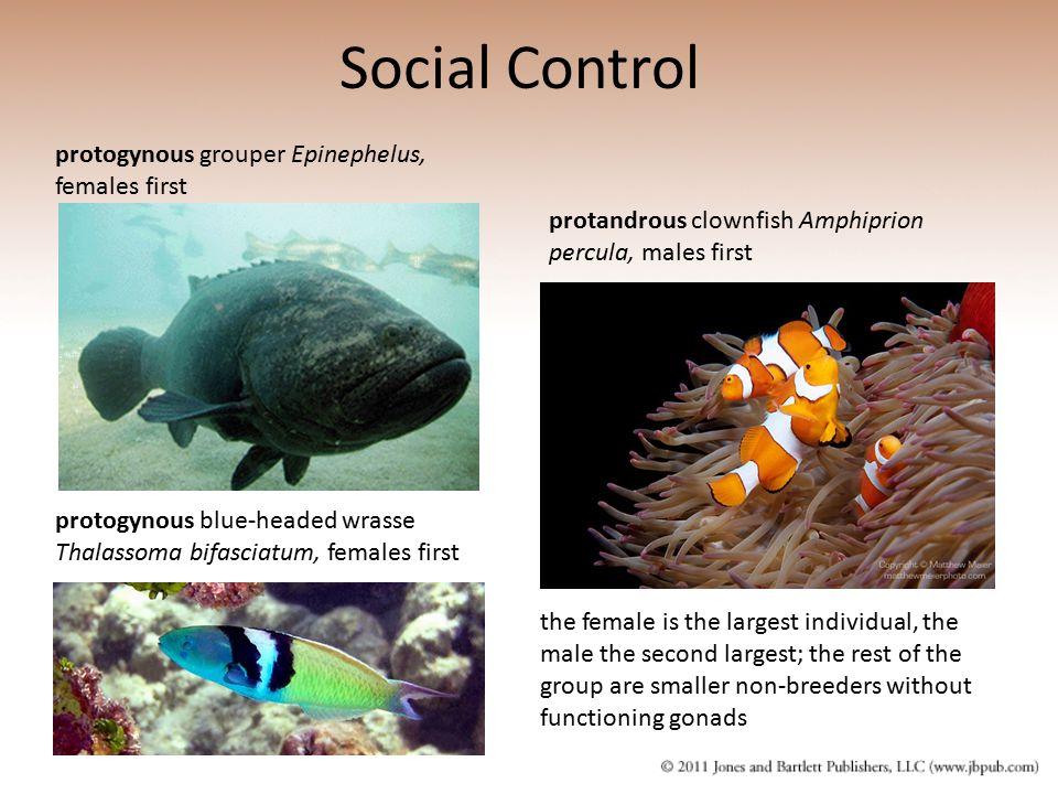 protogynous grouper Epinephelus, females first Social Control protogynous blue-headed wrasse Thalassoma bifasciatum, females first protandrous clownfi
