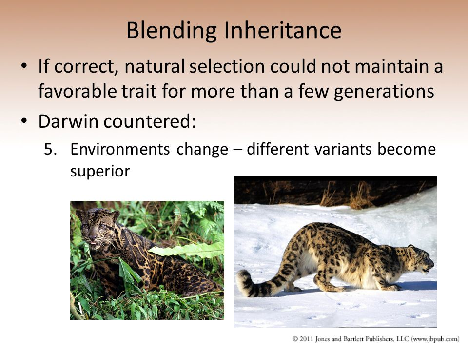 Blending Inheritance If correct, natural selection could not maintain a favorable trait for more than a few generations Darwin countered: 5.Environmen