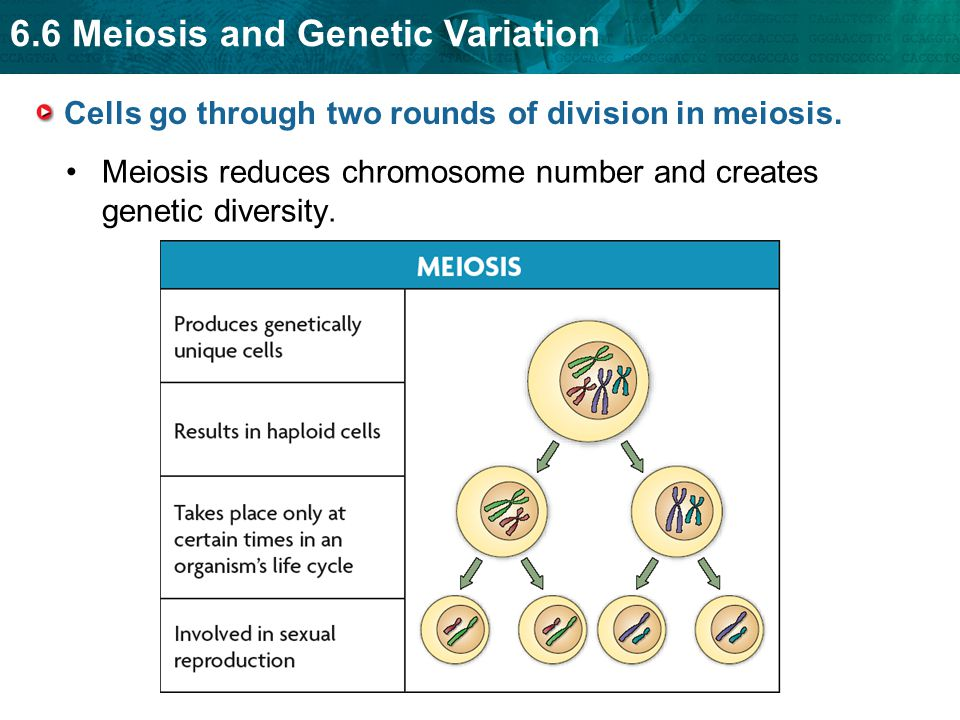 6.6 Meiosis and Genetic Variation Cells go through two rounds of division in meiosis.