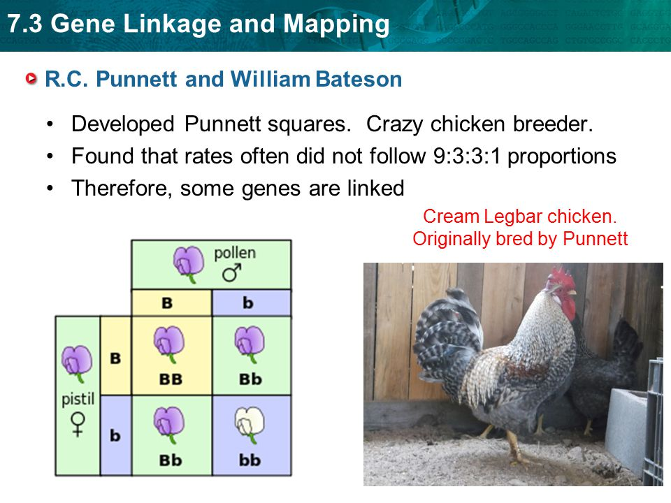 7.3 Gene Linkage and Mapping R.C. Punnett and William Bateson Developed Punnett squares. Crazy chicken breeder. Found that rates often did not follow