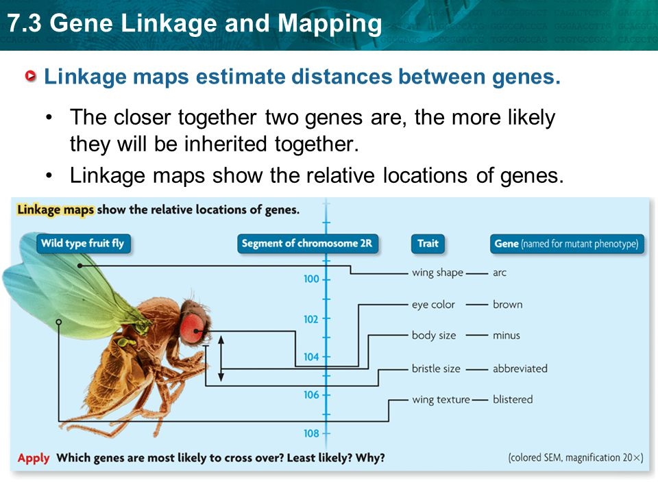 7.3 Gene Linkage and Mapping Cross-over frequencies can be converted into map units.