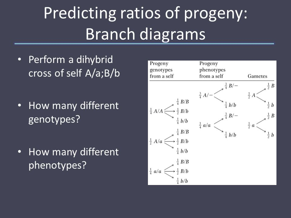 Predicting ratios of progeny: Branch diagrams Perform a dihybrid cross of self A/a;B/b How many different genotypes.