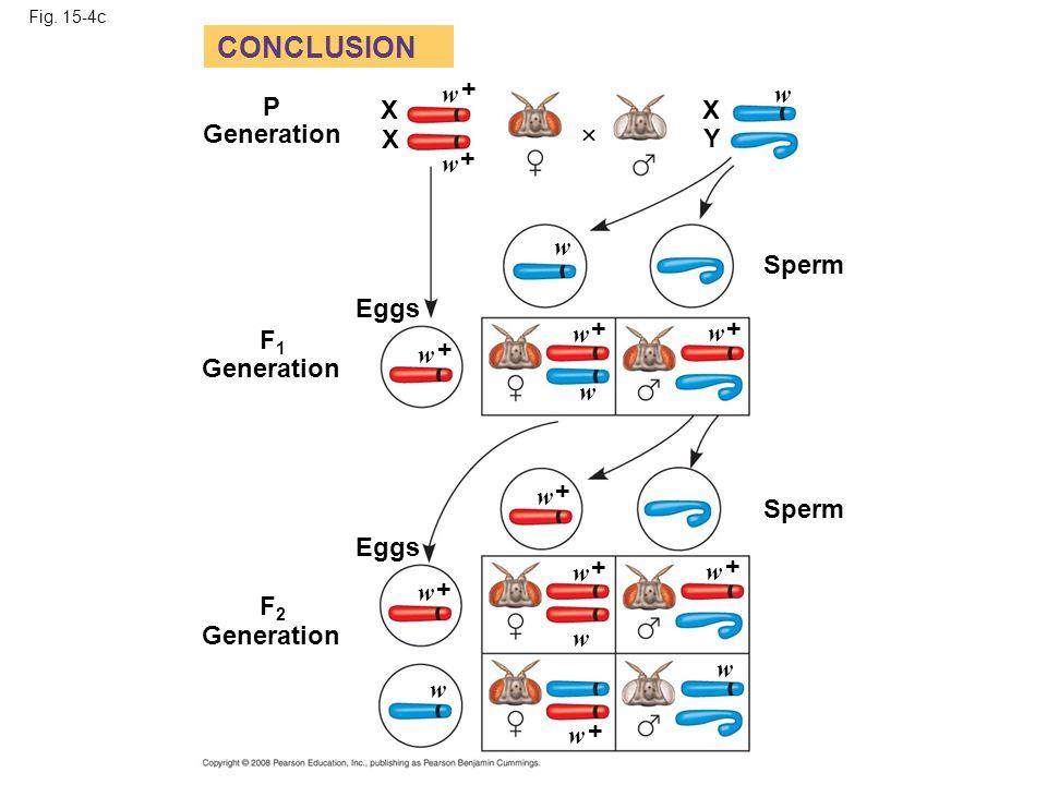 Fig. 15-4c Eggs F1F1 CONCLUSION Generation P X X w Sperm X Y + + + + + Eggs Sperm + + + + + Generation F2F2  w w w w w w w w w w w w w w w