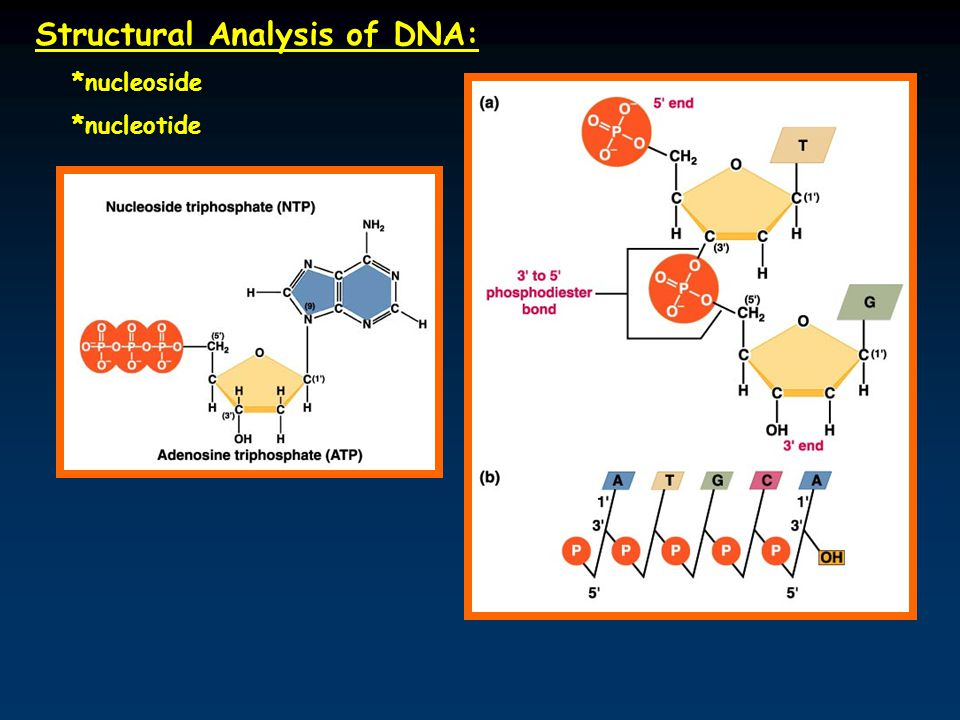 Structural Analysis of DNA: *nucleoside *nucleotide