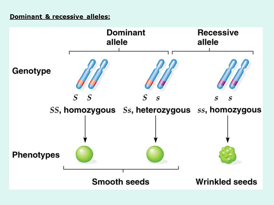 Dominant & recessive alleles: